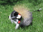 A51 (422020 byte) - Crowned crane