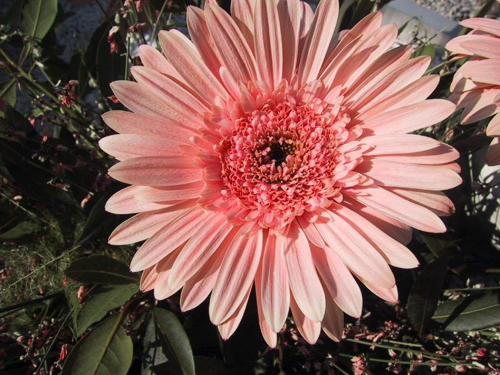 Sfondi per lo schermo fiori di giardino rosa - Fiori di giardino ...