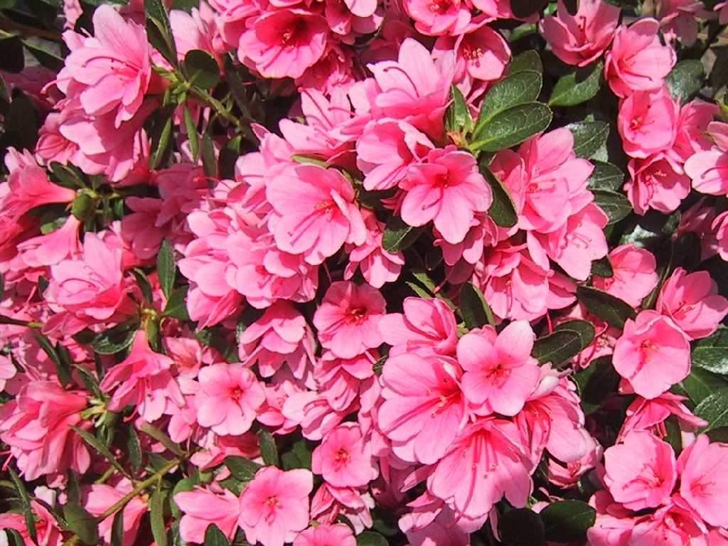 Descargar fondos de pantalla jardin con flores rosadas - Jardines con rosas ...