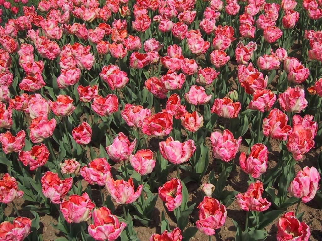 Fondos escritorio flores de jard n rosas for Cancion jardin de rosas