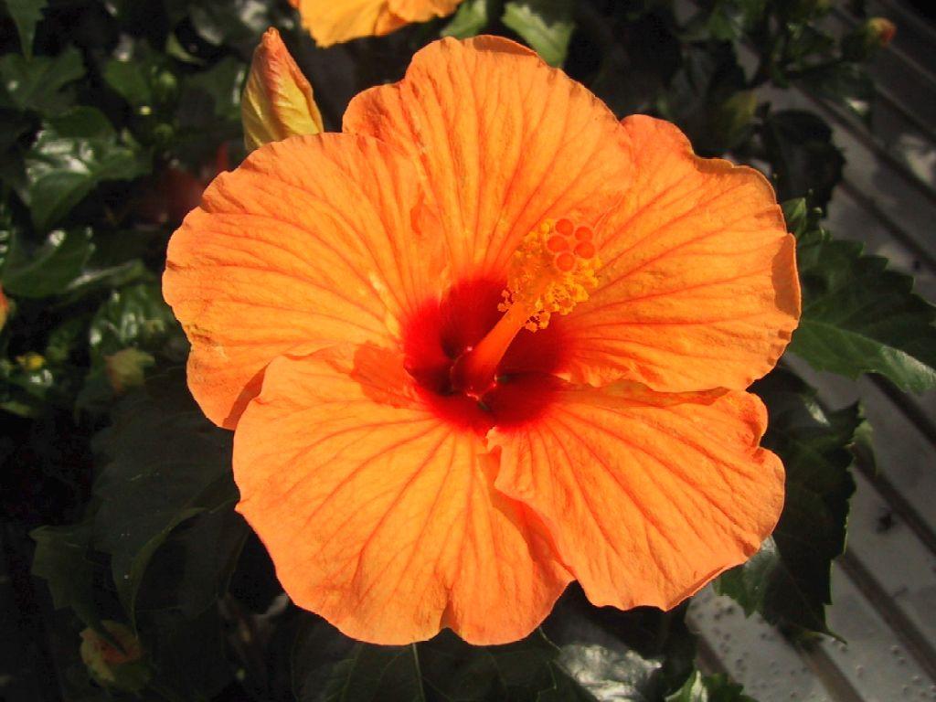 Sfondi per lo schermo fiori di giardino arancio - Fiori di giardino ...