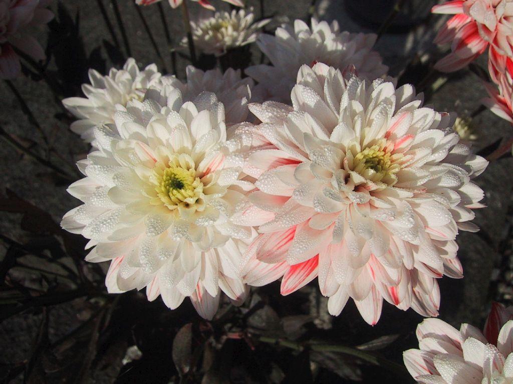 Sfondi per lo schermo fiori di giardino chiari - Fiori di giardino ...