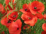 F176 (253550 byte) - Poppies