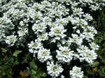 F021 (150524 byte) - Candytuft (Iberis sempervirens)