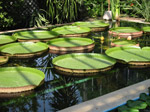 F177 (312663 byte) - Water Lilies