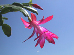 F036 (51749 byte) - Thanksgiving Cactus (Schlumbergera truncata)